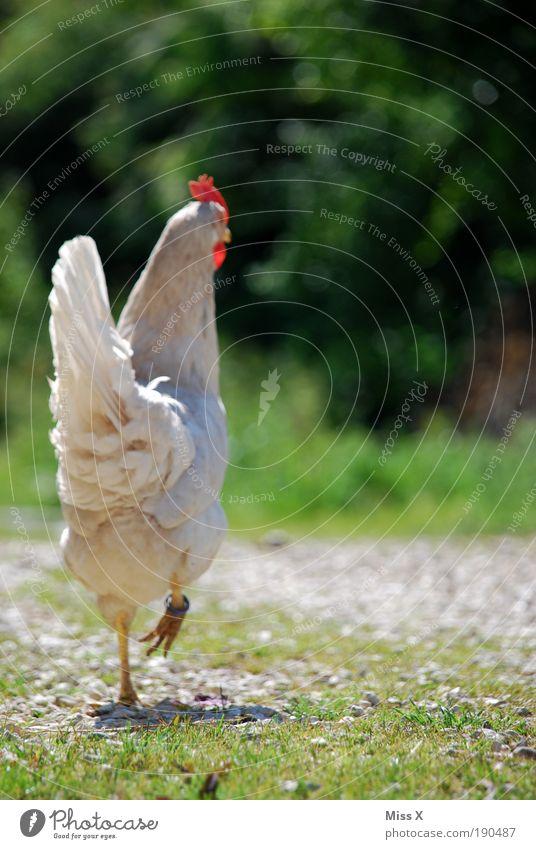 Chick Chick Chickeria Lebensmittel Ernährung Bioprodukte Ausflug Umwelt Natur Garten Park Wege & Pfade Tier Nutztier Vogel 1 füttern Stolz Hahn Feder stolzieren