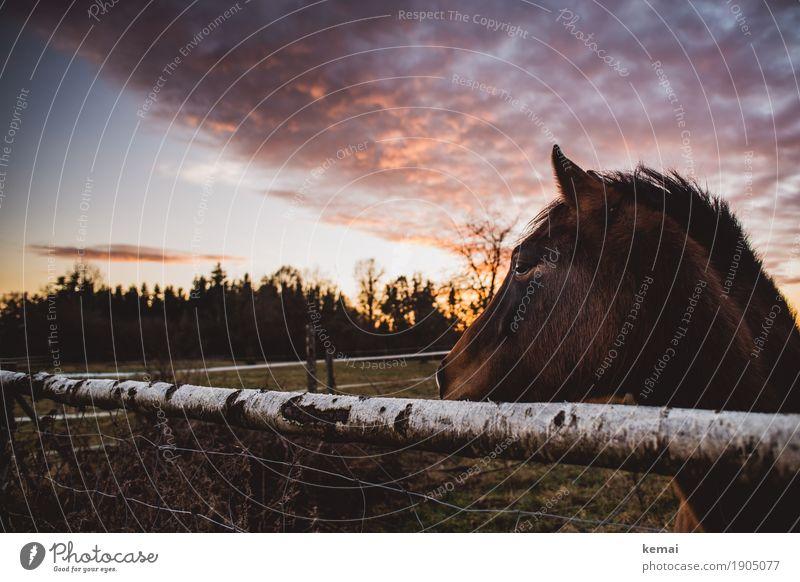 Desinteresse Wohlgefühl Erholung ruhig Himmel Wolken Sonnenaufgang Sonnenuntergang Sommer Schönes Wetter Baum Weide Tier Nutztier Pferd Tiergesicht Fell 1 Blick