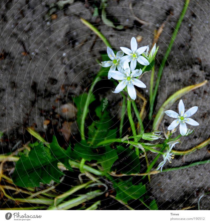 es wird schon... Natur Pflanze Erde Blume Blüte Grünpflanze Wildpflanze dunkel nass grün weiß Löwenzahn Frühling Frühlingsblume Wachstum Blühend Stern (Symbol)
