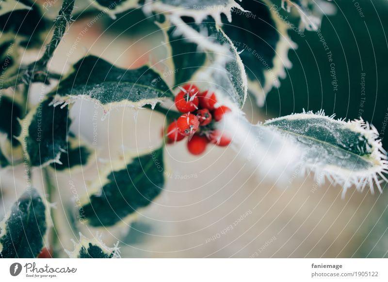 vereister Ilex Natur Schönes Wetter Eis Frost Schnee Schneefall ästhetisch kalt schön Ilexblatt Beeren Beerensträucher Eiskristall Blatt rot Mitte grün Zacken