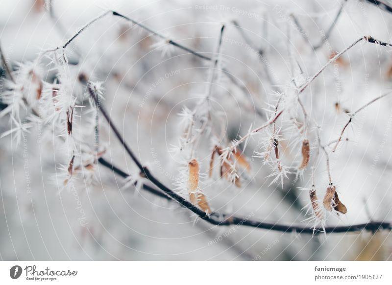 Zweige mit Eiskristallen Natur schön weiß Blatt Winter kalt Schnee braun hell Schneefall ästhetisch Spitze Frost diagonal