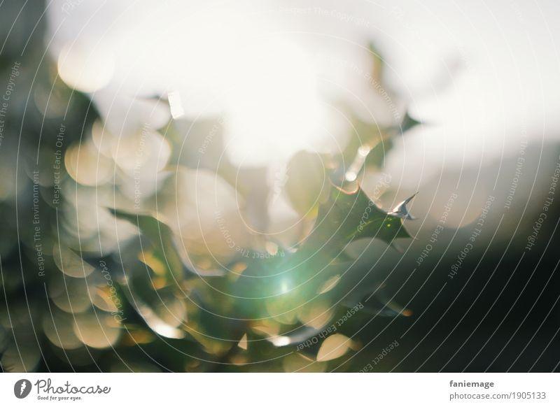 Winterleuchten Natur Pflanze Weihnachten & Advent grün schön Sonne Baum Winter Wärme kalt Garten leuchten glänzend Sträucher Hoffnung Lichtspiel