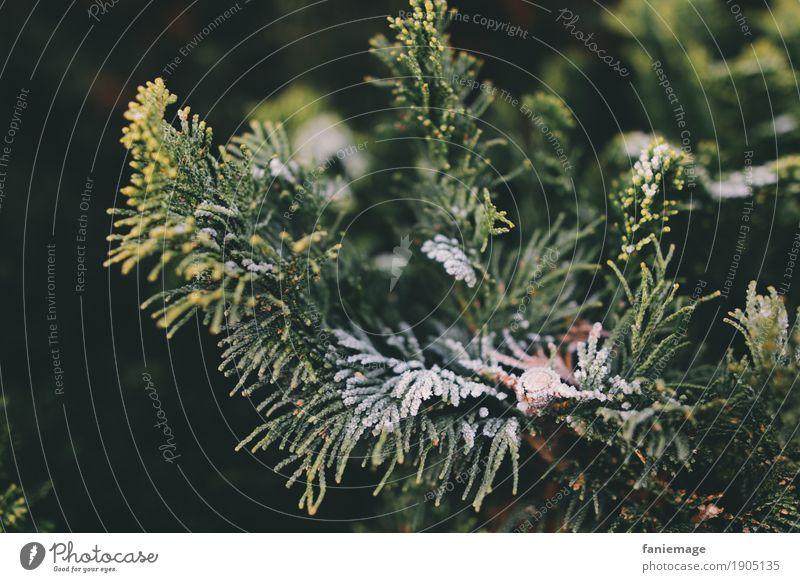vereister Zweig Natur Eis Frost kalt Zweige u. Äste Nadelbaum Raureif Winter Wintertag Weihnachten & Advent dunkelgrün braun hellgrün Schnee schwarz fein Garten