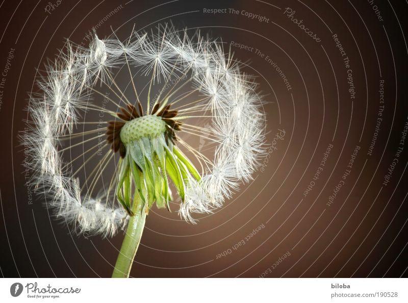 Pusteblume Umwelt Natur Pflanze Blume Blüte Wildpflanze Wiese alt ästhetisch natürlich verrückt gelb grün rot weiß Samen Fortpflanzung leicht fein verweht