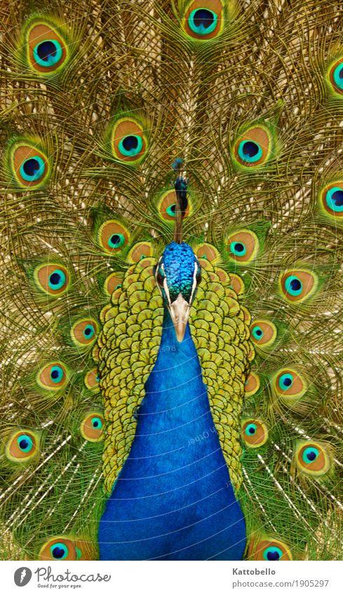 Pfauen Balz Tier Haustier Wildtier Vogel Tiergesicht Flügel 1 Brunft Sex ästhetisch elegant Erotik exotisch fantastisch schön natürlich blau grün türkis