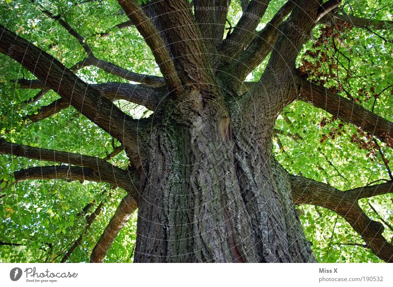 Baum der Liebe Natur alt grün Sommer ruhig Wald Erholung Umwelt Tag Park Zufriedenheit Kraft Ausflug Textfreiraum groß