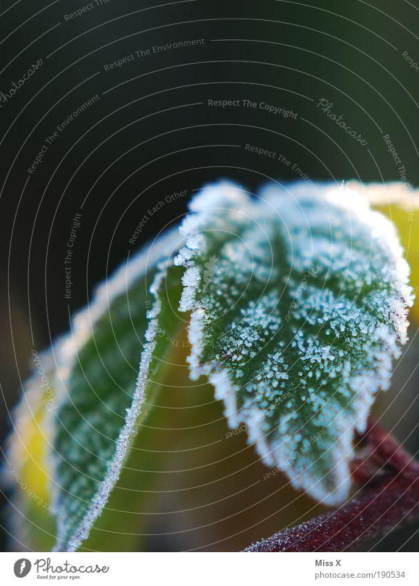 Zucker Natur Klima Wetter Eis Frost Pflanze Sträucher Blatt Grünpflanze Park kalt klein Raureif Farbfoto Außenaufnahme Nahaufnahme Makroaufnahme Menschenleer