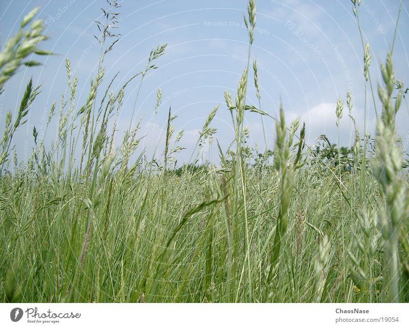 Blauer Himmel Himmel Wolken Gras Weizen