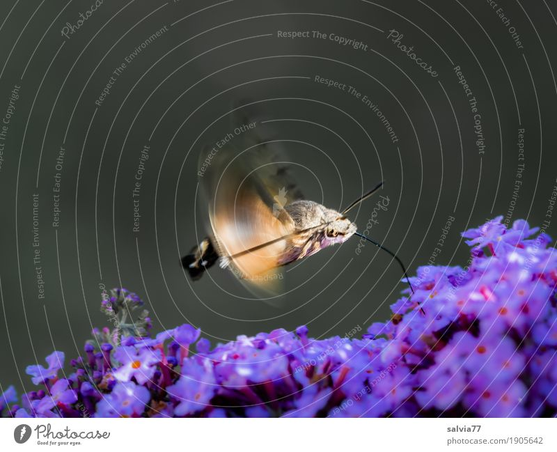 flinker Flitzer Natur Pflanze Tier Sommer Blume Blüte Sommerflieder Garten Wildtier Schmetterling Insekt Schwärmer Taubenschwänzchen Motte rennen Duft fliegen