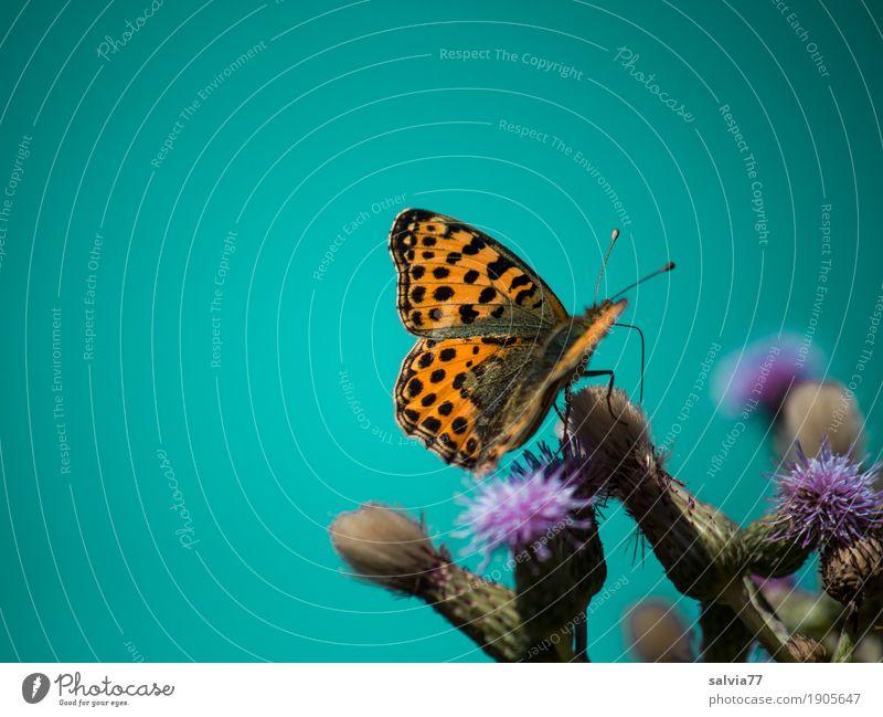 lecker! Umwelt Natur Pflanze Tier Himmel Wolkenloser Himmel Frühling Sommer Klima Blüte Distelblüte Feld Schmetterling Flügel Insekt perlmutterfalter 1 Blühend