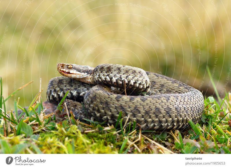 gemeine europäische gekreuzte Viper, die auf Bergwiese sich aalt Frau Natur grün schön Tier Berge u. Gebirge Erwachsene Umwelt Wiese natürlich Gras braun wild