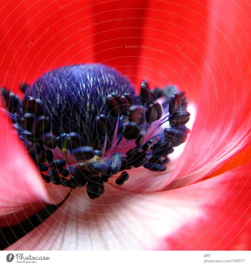 Rote Anemone Umwelt Natur Pflanze Frühling Schönes Wetter Blume Park ästhetisch frisch schön blau rot weiß Frühlingsgefühle Farbe Vergänglichkeit Blütenblatt
