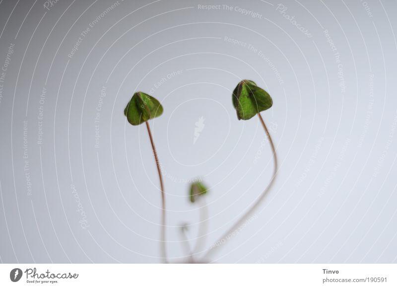 wenn das Glück schläft Natur grün Blatt Traurigkeit warten schlafen einfach zart Müdigkeit Grünpflanze minimalistisch Klee Glücksbringer schlaff herzförmig Symbole & Metaphern