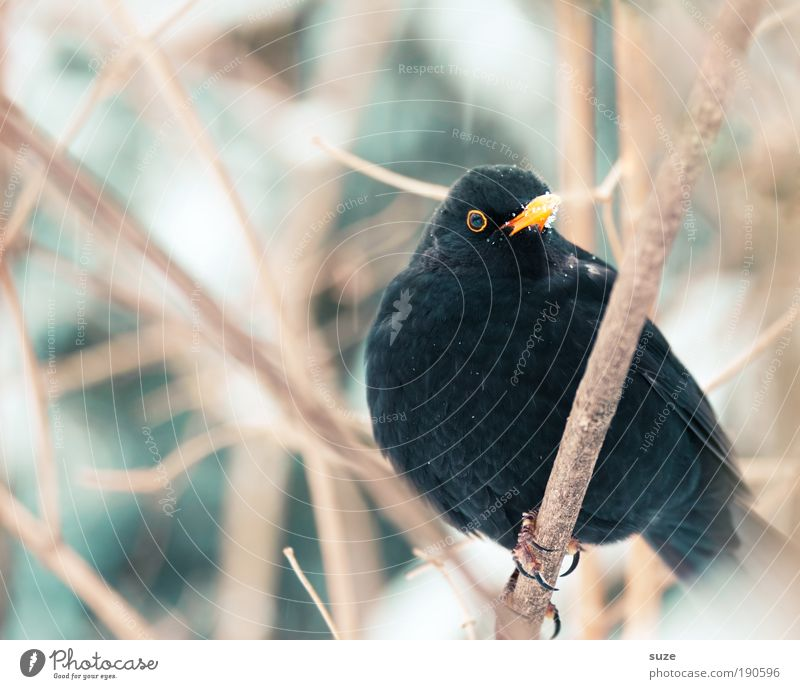 Amselmann Umwelt Natur Pflanze Tier Winter Sträucher Wildtier Vogel 1 sitzen warten authentisch kalt klein niedlich wild schwarz Singvögel Zweig Schnabel