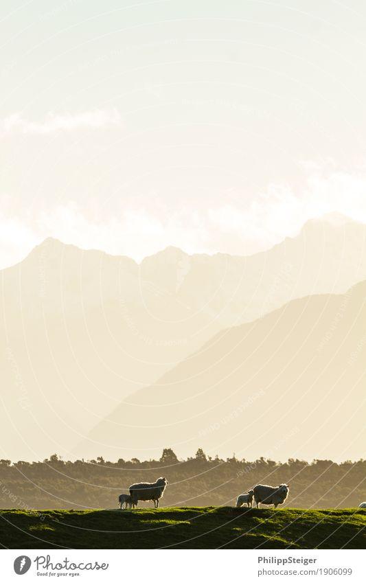 Schafe mit Lämmern Himmel Natur Sonne Baum Landschaft Wolken Tier Berge u. Gebirge Tierjunges Wiese natürlich Gras Stimmung Zusammensein Zufriedenheit