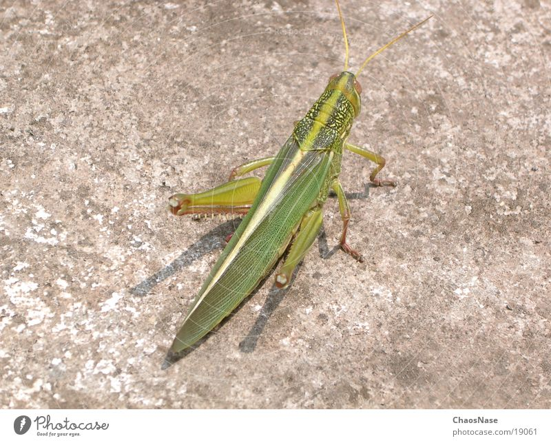 GrasGrüner Grashooper grün Tier Heuschrecke