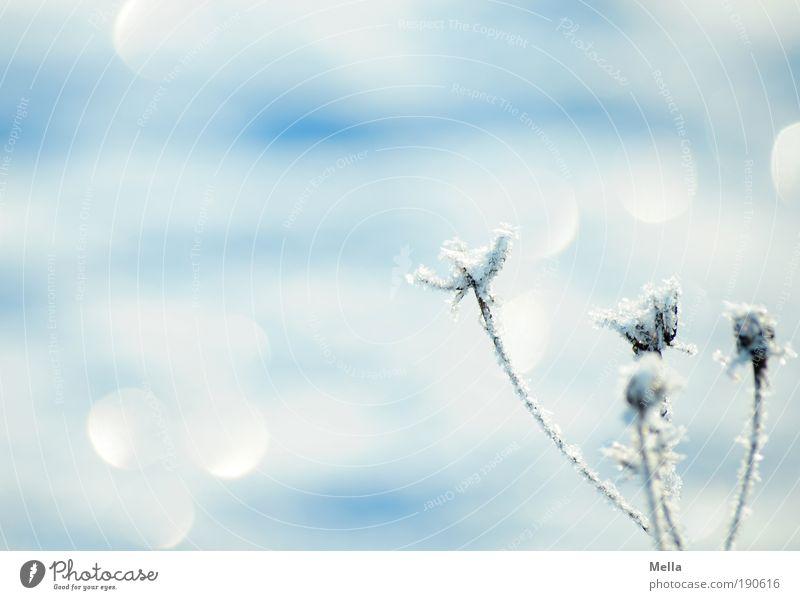 Noch mehr Winter Natur weiß Blume Pflanze Winter ruhig kalt Gras Eis glänzend Wetter Umwelt Frost Klima Licht rein