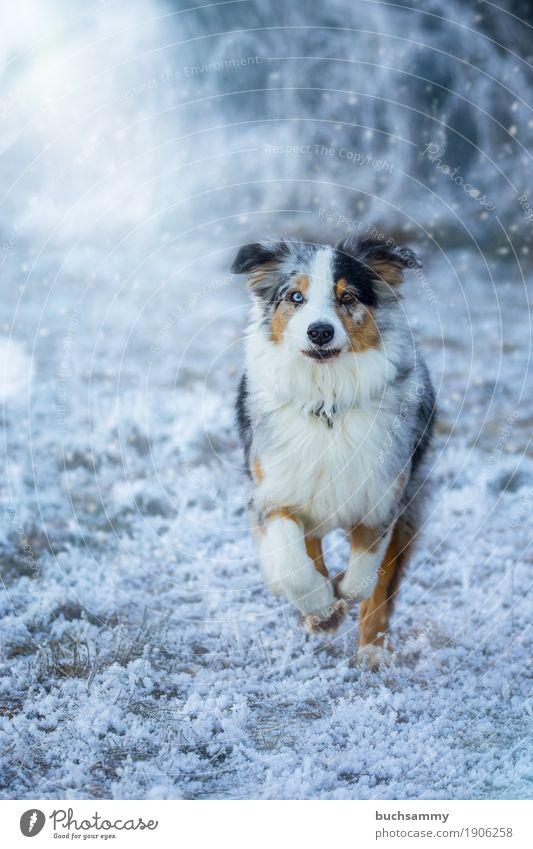 Australian Shepherd Natur Winter Wetter Eis Frost Schnee Gras Wiese Tier Haustier Hund 1 laufen rennen Geschwindigkeit blau braun schwarz weiß Leidenschaft