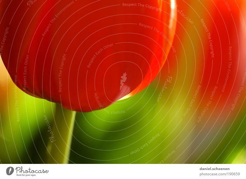 antizyklisch hochladen Pflanze Frühling Blume Tulpe Blüte grün rot mehrfarbig Makroaufnahme