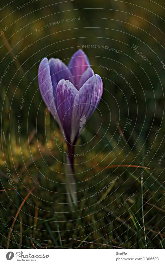 und der Frühling kommt doch Natur Pflanze Gras Wildpflanze Frühlingsblume Krokusse Frühlingskrokus Frühblüher Garten Park Blühend neu schön grün violett