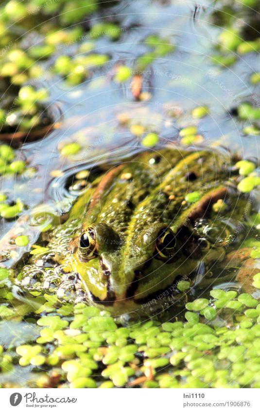 Frosch Natur Pflanze Tier Luft Wasser Sonne Sommer Schönes Wetter Wildpflanze Wasserlinsen Garten Teich Wildtier Tiergesicht 1 außergewöhnlich natürlich blau