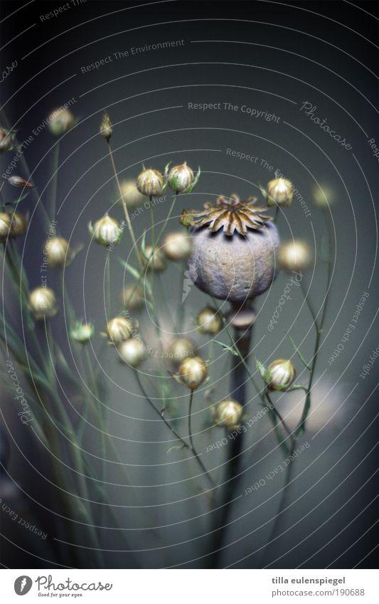 zum tausendfünfhundertachtundzwanzigsten mal Pflanze natürlich schön blau grau ruhig Glaube Trauer kalt Natur Vergänglichkeit Mohn Mohnkapsel Lein trocken