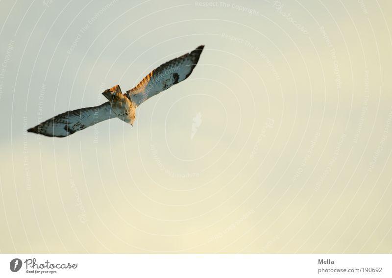 Fliegen Umwelt Natur Tier Luft Himmel Sonnenlicht Wildtier Vogel Bussard Mäusebussard 1 fliegen frei Unendlichkeit natürlich Stimmung Lebensfreude ruhig