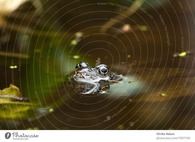 Kröte im Teich Natur Tier Wasser Frühling Seeufer Wildtier Frosch Amphibien 1 Schwimmen & Baden natürlich braun grau grün Auge Reflexion & Spiegelung weich