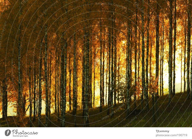 Birkenwald Natur Baum ruhig Blatt Wald Herbst Farbstoff Landschaft Stimmung Tourismus Fußweg Umweltschutz Eindruck Nationalpark Schwarzwald Wege & Pfade