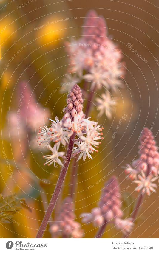 Frühlingsboten - Schaumblüten (Tiarella) Natur Pflanze grün schön weiß Blume Blüte Garten außergewöhnlich rosa Park Blühend weich zart exotisch