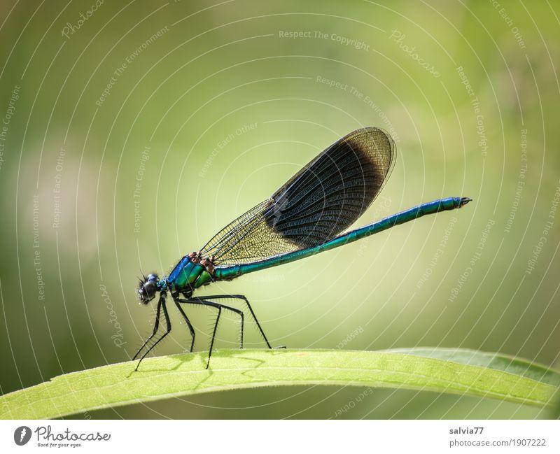 Pracht Exemplar Natur Pflanze Tier Sommer Blatt Wildtier Flügel Insekt Libellenflügel 1 Jagd blau grün Leichtigkeit Farbfoto Außenaufnahme Makroaufnahme