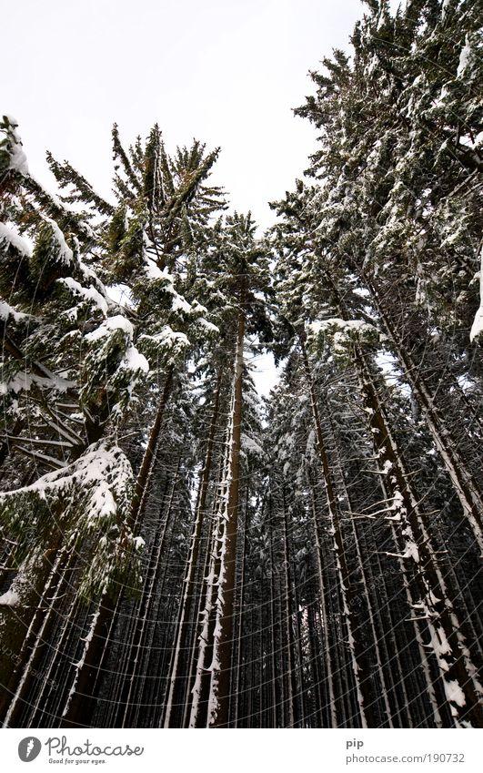 peak search Natur Winter schlechtes Wetter Eis Frost Schnee Baum Fichte Tanne Kiefer Nadelbaum Fichtenwald Wald groß gruselig hell hoch kalt grau schwarz Angst