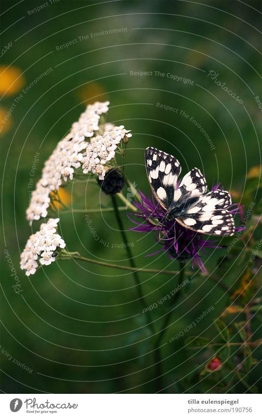 flatterhaft Natur schön Blume grün Pflanze Sommer Tier Wiese Blüte sitzen Flügel natürlich Idylle Schmetterling Blühend entdecken