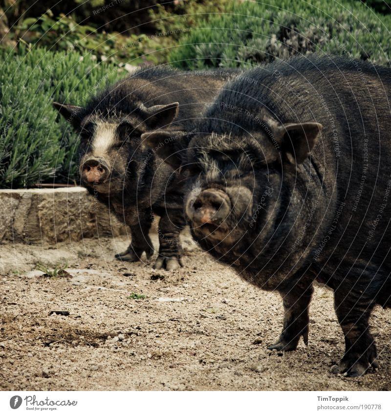 Animal Farm #4 Tier dreckig Bauernhof Geruch Schwein Schnauze Sau Schweinerei Hausschwein Grunzen Schweinschnauze Hängebauchschwein suhlen Schwein gehabt