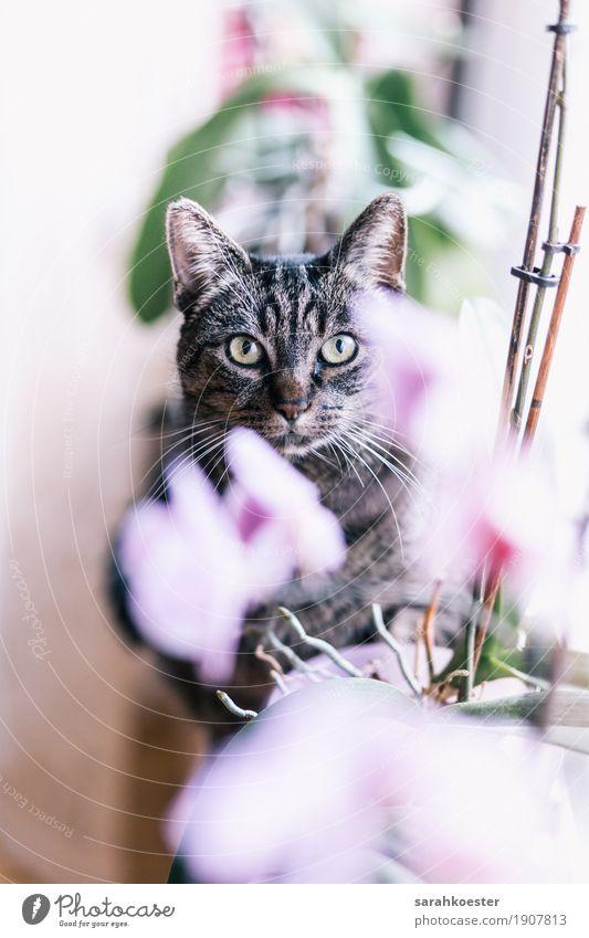 Katze zwischen Blumen Pflanze Tier Orchidee Haustier 1 sitzen ästhetisch Freundlichkeit Fröhlichkeit wild rosa Verantwortung Stolz schön Farbfoto Innenaufnahme