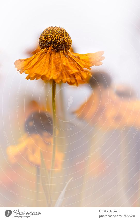 Gelbe Sonnenbraut ( Helenium ) Design einrichten Dekoration & Verzierung Tapete Bild Poster Postkarte Natur Pflanze Sommer Herbst Blume Blüte Grünpflanze