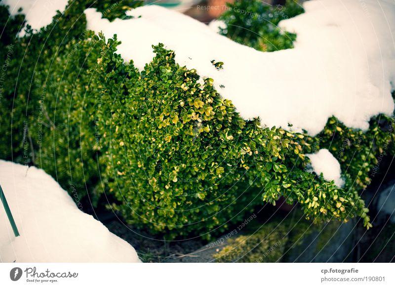 George W. Busch Natur Winter Schnee Sträucher Grünpflanze buschig