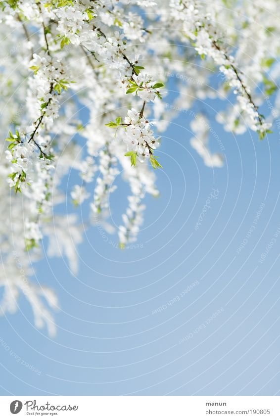 coming soon... Natur weiß Baum blau Erholung Blüte Frühling Park hell frisch Fröhlichkeit Romantik Lebensfreude Duft Schönes Wetter positiv