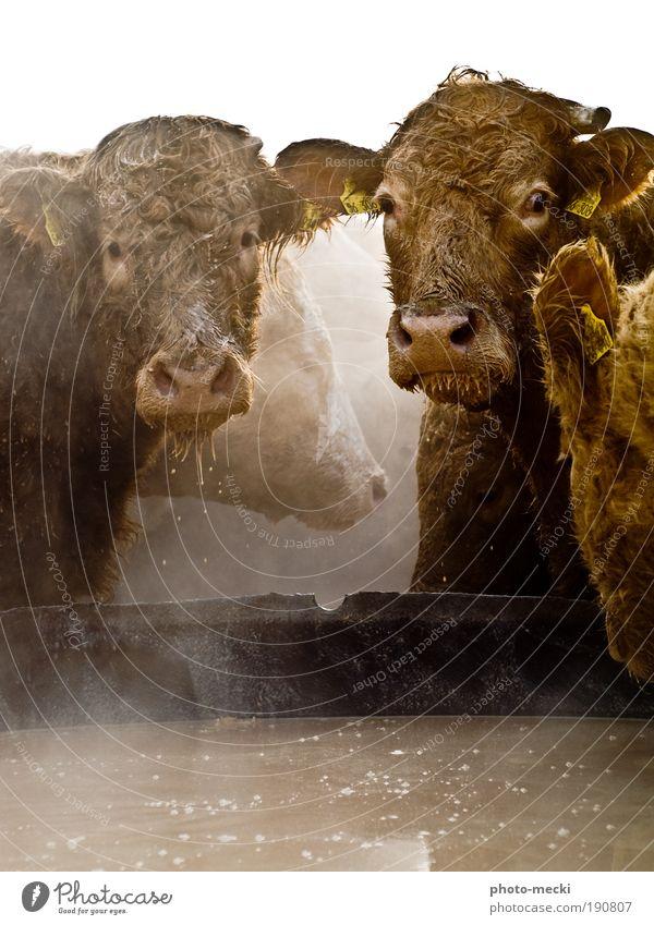 die Giganten Wasser Nutztier Kuh Tiergesicht Fell 2 4 Tiergruppe Tierpaar Fressen füttern genießen Blick außergewöhnlich Coolness dreckig Flüssigkeit glänzend
