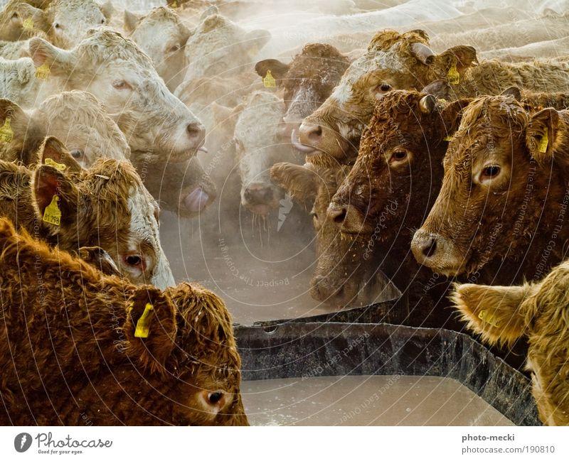 Schlemmerparty Tier schwarz gelb Leben Glück Rind Freundschaft braun Kraft Zusammensein dreckig nass wild Tiergruppe außergewöhnlich Kuh