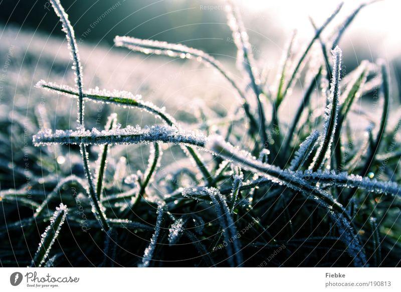 frostige zeiten Umwelt Natur Winter Eis Frost Schnee Pflanze Gras kalt nass blau Jahreszeiten Eiskristall Farbfoto Außenaufnahme Detailaufnahme Tag Licht