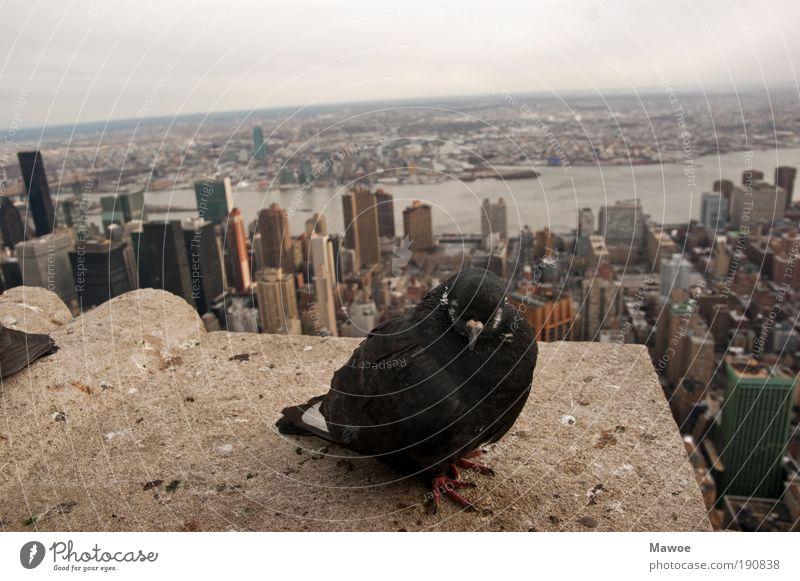 Taube über New York Tier Beton Hochhaus Perspektive Tiergesicht Flügel Wildtier Skyline Schifffahrt Wahrzeichen Taube New York City Sehenswürdigkeit Stadt Empire State Building
