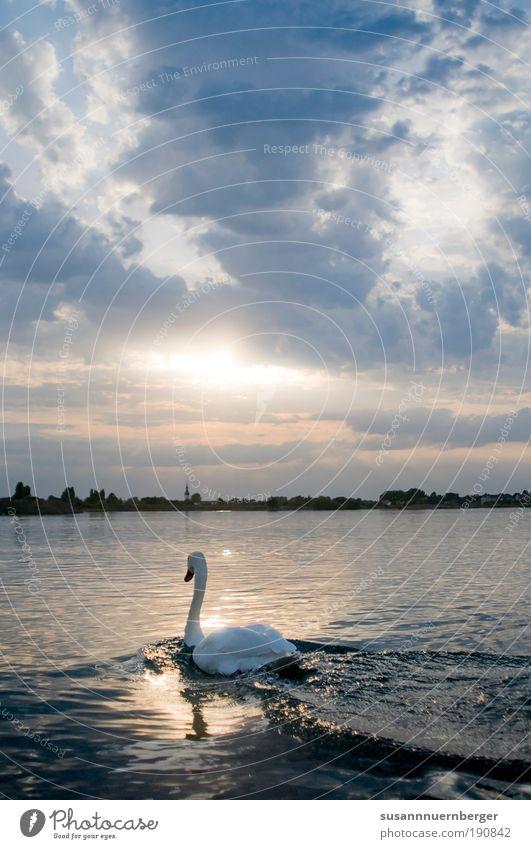 Swan Natur Wasser Himmel Horizont Sonnenaufgang Sonnenuntergang Sommer Schönes Wetter See Tier Wildtier Schwan Flügel 1 frei wild blau gelb weiß Stimmung