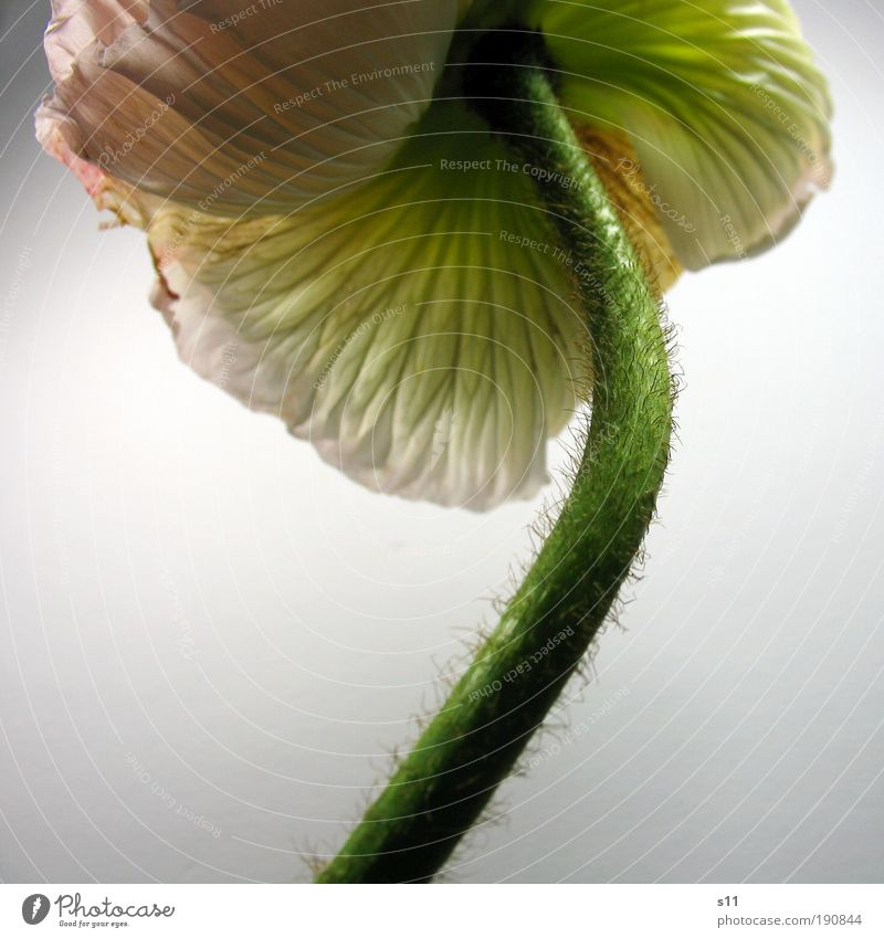 PinkMohn II Natur weiß grün schön Pflanze Blume Wiese Blüte Frühling Umwelt Park rosa ästhetisch Vergänglichkeit zart