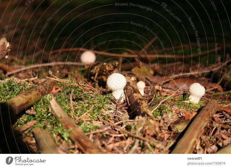 Stachelköpfchen Natur weiß grün Pflanze Sommer Wald Landschaft braun Erde Ast Idylle Pilz Waldboden