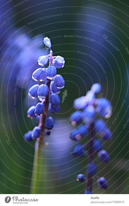 Muscari im Frühlingsgarten Traubenhyazinthe Hyazinthe Perlhyazinthe Frühlingsblumen blaue Blüten schönes Licht blühende Frühlingsblume feine Blüten