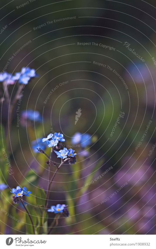 bald Frühling Natur Pflanze blau schön Blume Umwelt klein Garten Park Wachstum Idylle Blühend Romantik Vorfreude Blütenblatt
