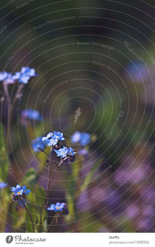 bald Frühling Natur Pflanze Blume Vergißmeinnicht Blütenblatt Frühlingsblume Gartenpflanzen Park Blühend Wachstum klein schön blau Frühlingsgefühle Vorfreude