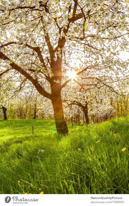 cherry tree Frucht Wellness Leben harmonisch Wohlgefühl Zufriedenheit Sinnesorgane Erholung ruhig Meditation Duft Abenteuer wandern Umwelt Natur Landschaft