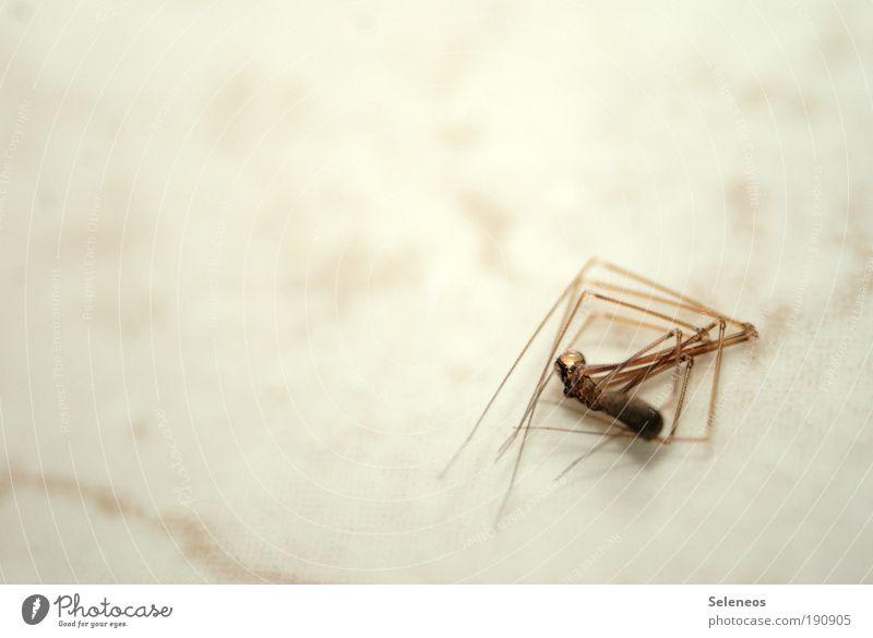totgestellt Tier Totes Tier Spinne Tiergesicht 1 liegen trist Tod Insekt Farbfoto Innenaufnahme Nahaufnahme Detailaufnahme Makroaufnahme Menschenleer